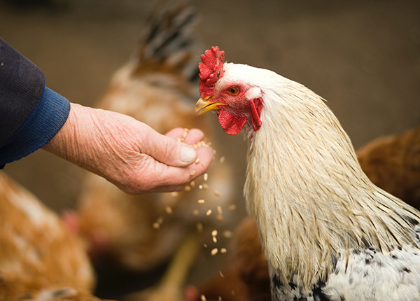 Memberi pakan ayam terbaik