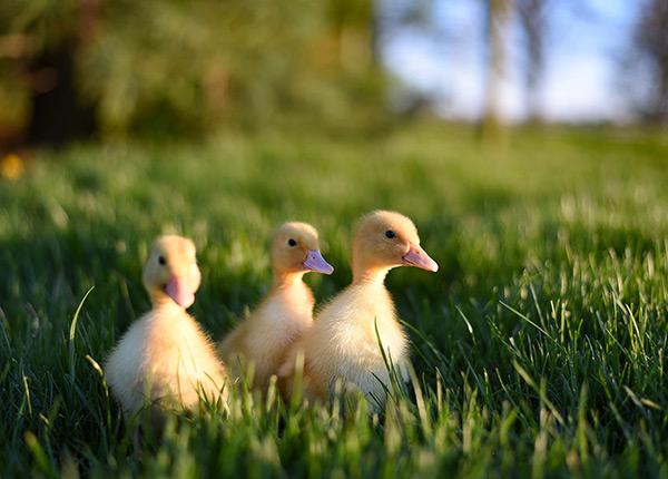 Bibit bebek dari cara menetaskan telur yang baik